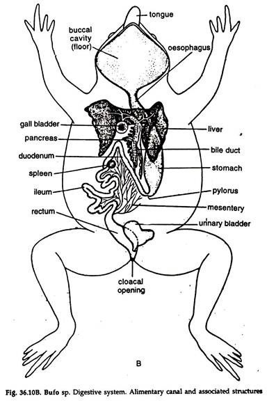 Digestive System Coloring Worksheet Biology if8765 the Frog Digestive Diagram Answers Diagram