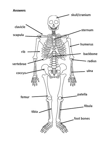 Printable Anatomy Labeling Worksheets Printable Human Bones Label the Bones Worksheet Worksheets