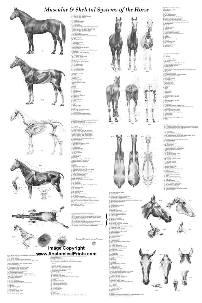 "Printable Horse Anatomy Worksheets Horse Muscular and Skeletal Anatomy Poster 24"" X 36"""