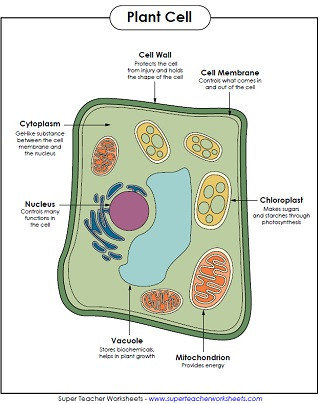5th Grade Cell Worksheets Animal and Plant Cell Worksheets