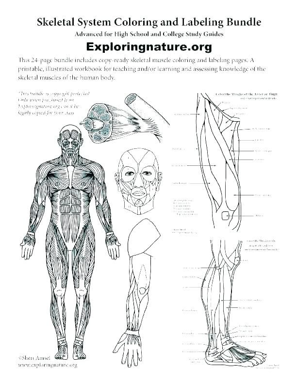 Free Printable Human Anatomy Worksheets Human Anatomy Worksheets Printable College Skeletal for