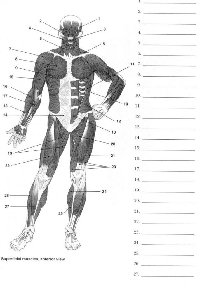 Printable Anatomy Worksheets Human Anatomy Labeling Worksheets with Muscle