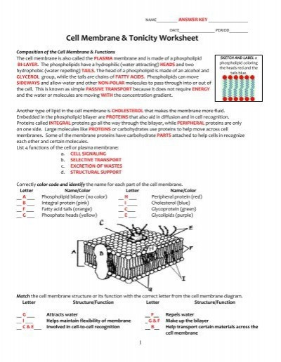 Active and Passive Transport Worksheet Key Cell Membrane and tonicity Worksheet Pdf