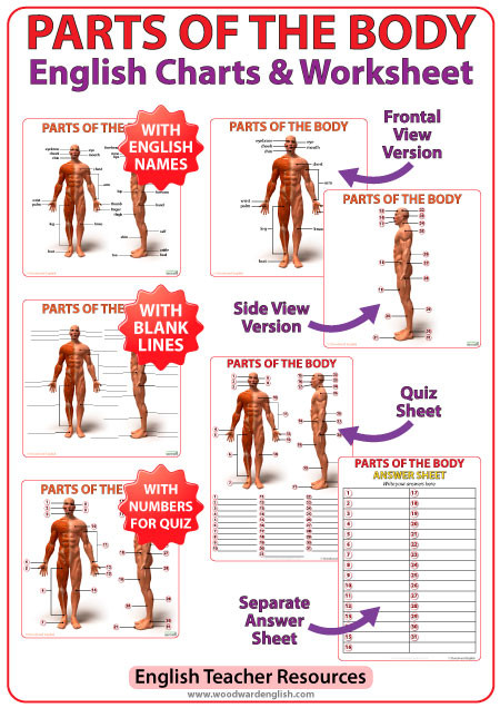 Body Parts In Spanish Worksheet English Parts Of the Body Charts