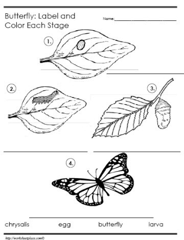 Butterfly Life Cycle Worksheet butterfly Life Cycle Label the Stages Worksheets