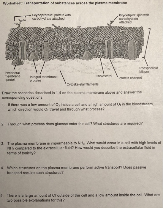Cell Membrane Worksheet Answers solved Worksheet Transportation Substances Across the