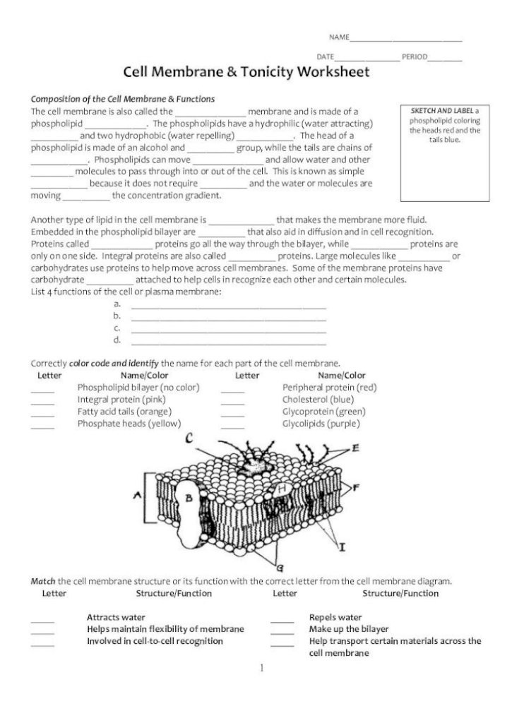 Cell Structure and Function Worksheet Name Date Period Cell Membrane tonicity Period Cell