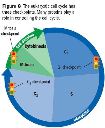 Cells Alive Cell Cycle Worksheet Unit 5 Cells Stability and Change Mr Shawn Maison Jghs