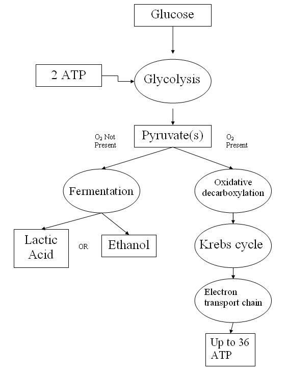 Cellular Respiration Review Worksheet Biochemical Pathway Cell Respiration Flow Chart Elegant