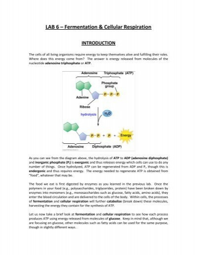 Cellular Respiration Review Worksheet Lab 6 Cellular Respiration