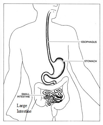 Digestive System Worksheets Middle School Intestine Lesson for Kids Function & Facts