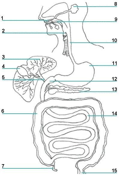 Digestive System Worksheets Middle School the Digestive System Printable Picture