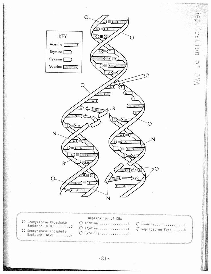 Dna and Replication Worksheet Answers 50 Dna Replication Worksheet Key In 2020