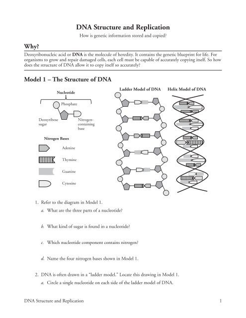 Dna and Replication Worksheet Answers Dna Structure and Replication Ramsey School District