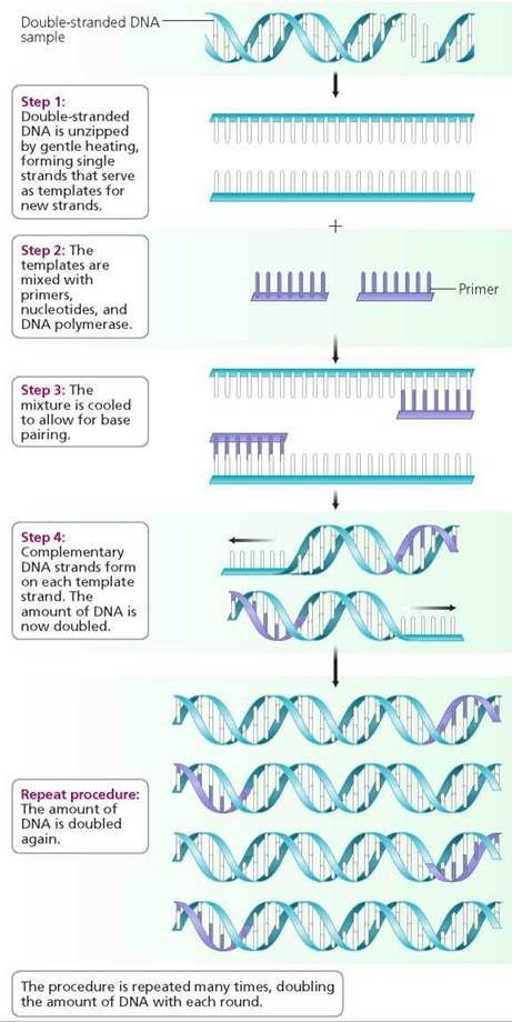 Dna Fingerprinting Worksheet Answers Dna and Biotechnology Biology Of Humans In 2020