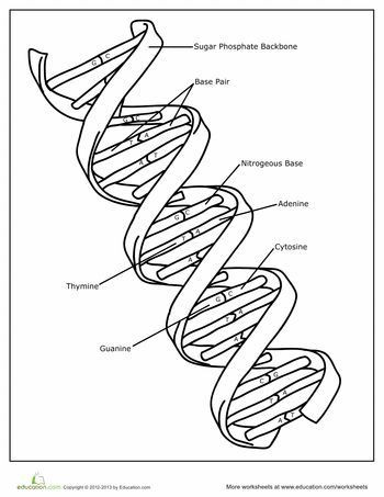 Dna Structure Worksheet High School Dna Coloring Page