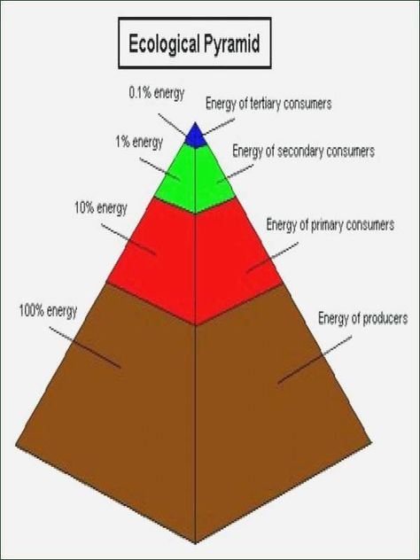 Ecological Pyramids Worksheet Answers 50 Ecological Pyramids Worksheet Answer Key In 2020
