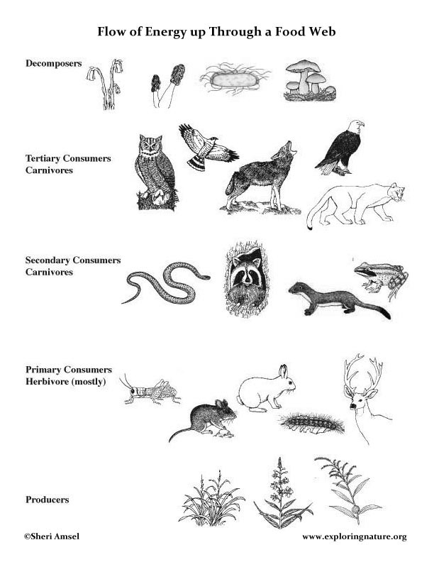 Food Web Worksheet Pdf Food Web Lecture with Handouts
