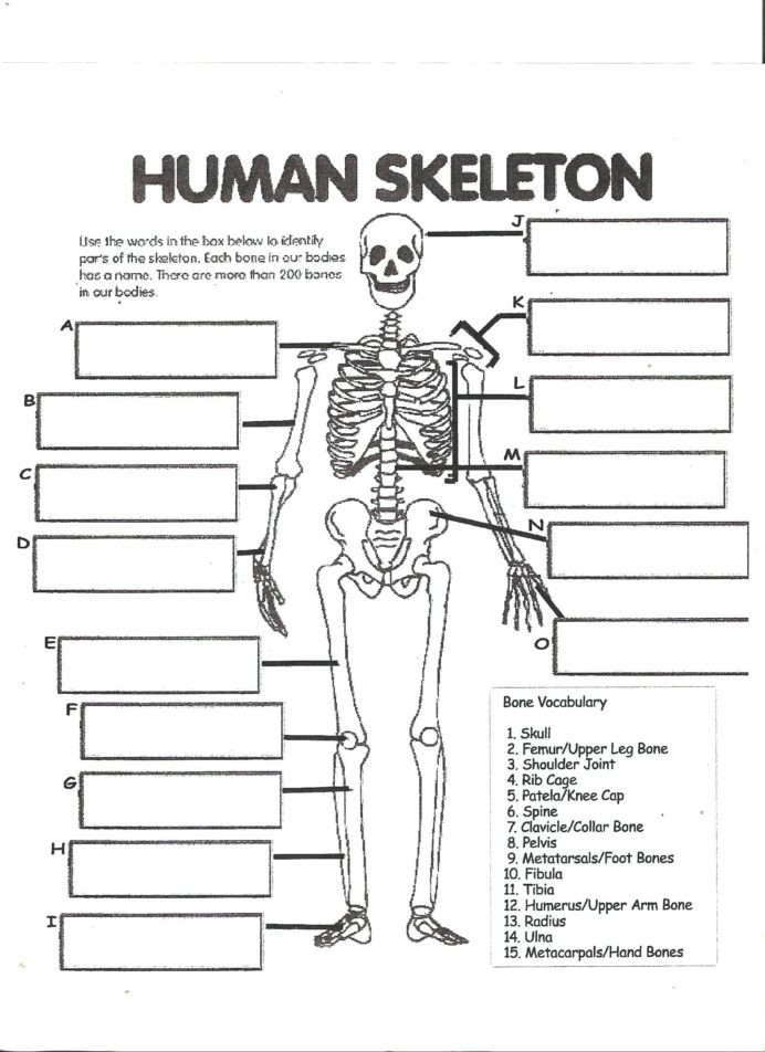 Human Digestive System Worksheet Digestive System Labeling Worksheet Answers Human Skeleton