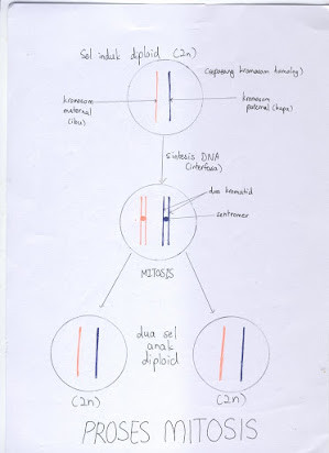 Mitosis Vs Meiosis Worksheet Answers Essay Questions On Mitosis and Meiosis