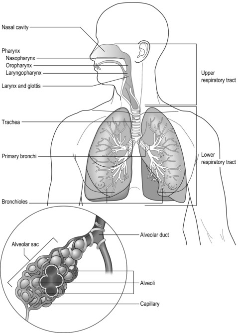 Respiratory System Worksheet Answer Key Anatomy and Physiology Of the Respiratory System